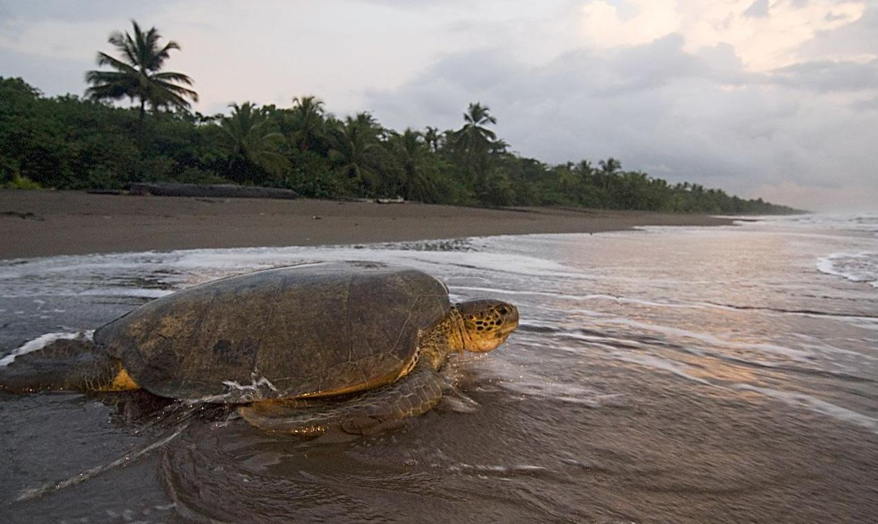 Costa Rica Sea Turtle